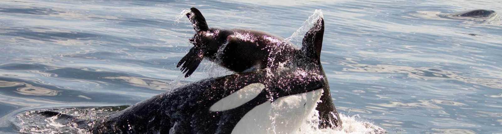 Orca Whale & Sea Lion