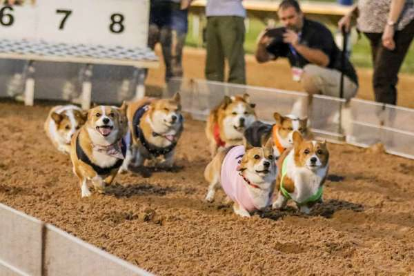 Corgi Races