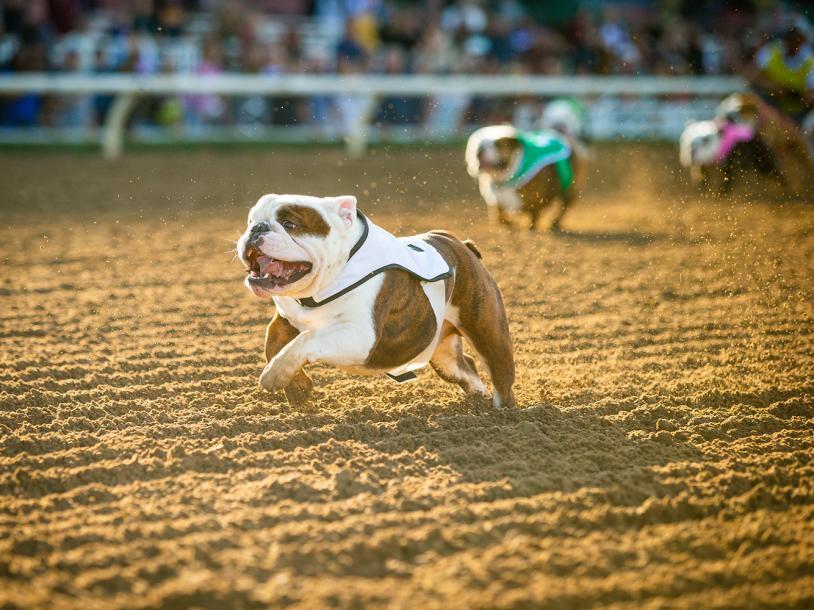 Bulldog Derby 3