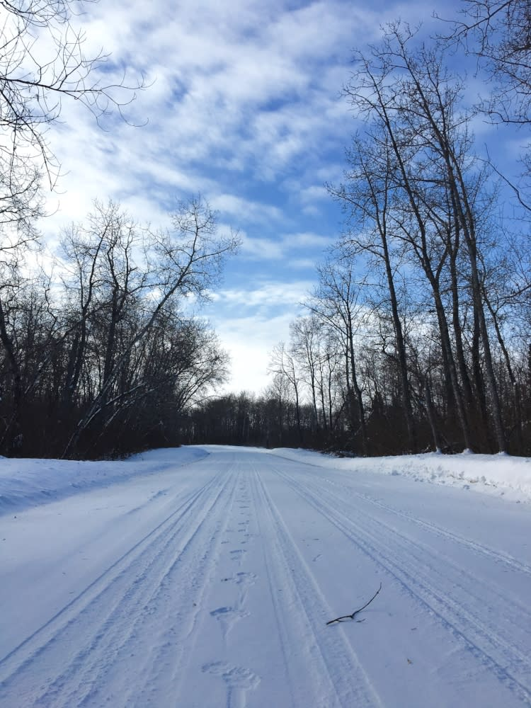 Wolf tracks along a snowy road with trees in the distance beneath a blue sky, Riding Mountain National Park