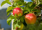 Apples Thumb