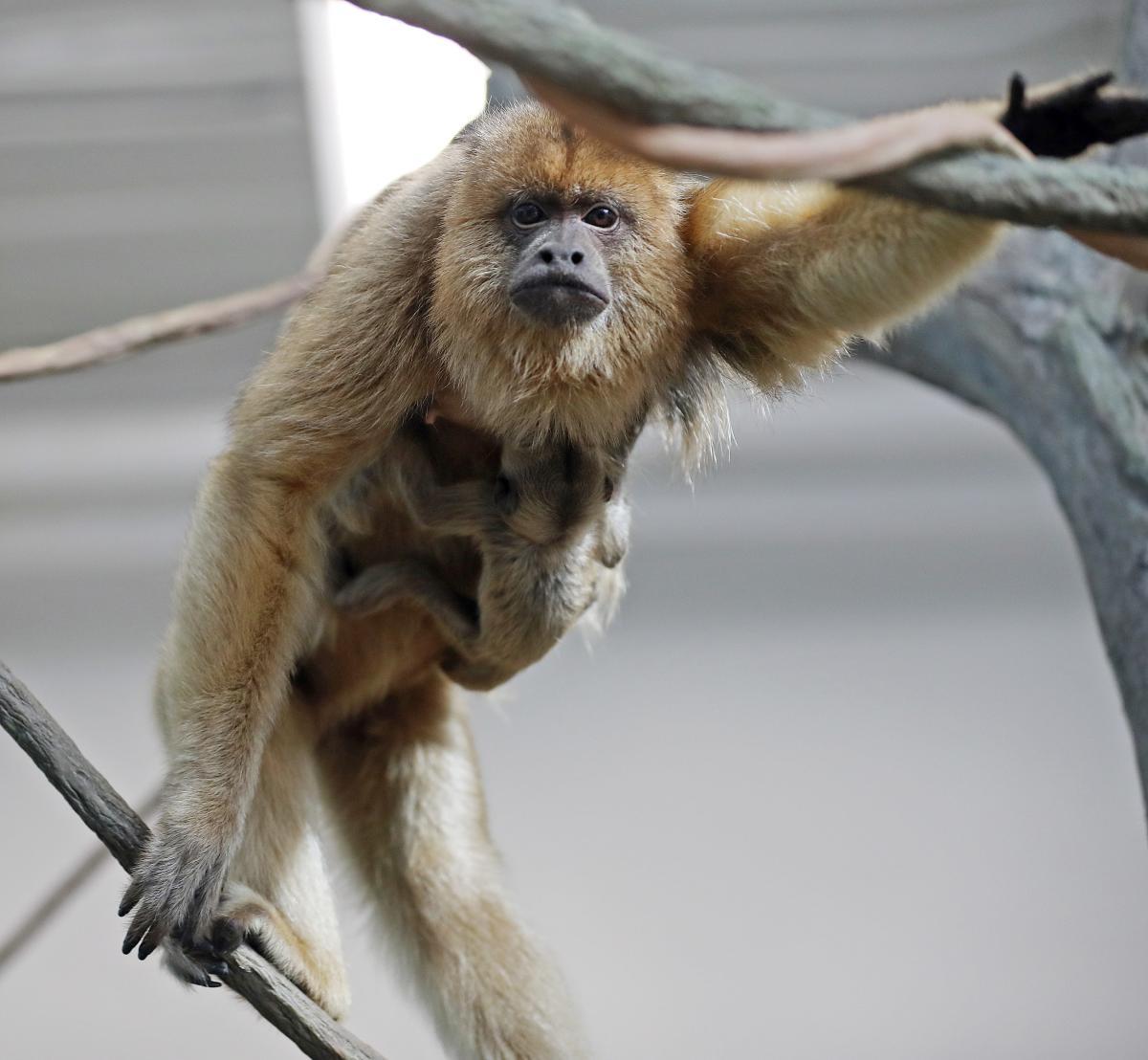 RWP Zoo Howler