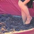 Harvest Dinner & Grape Stomp