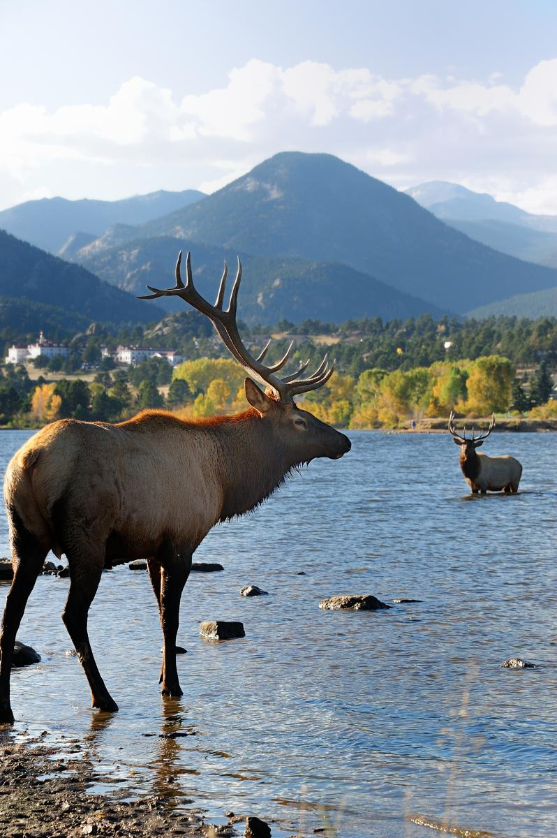 Bull elk at Lake Estes