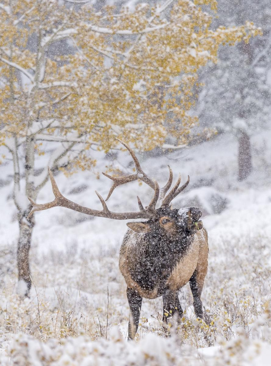 Elk in the Snow