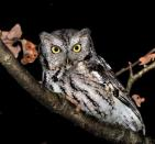 Come for Owl Prowl on Friday, February 1 from 7 p.m.-9.p.m. at the Hudson Highlands Nature Museum's Wildlife Education Center or Saturday, February 2 from 7 p.m. to 9 p.m. at the Outdoor Discovery Center.
