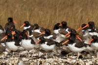 American Oystercatchers and Short-billed Dowitchers