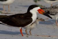 Black Skimmer and chick