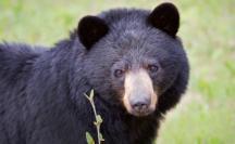 black-bear-face.JPG