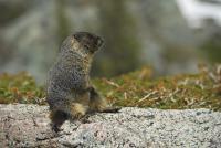Marmot Sitting Upright