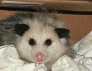 Meet the Opossum at the Wildlife Education Center on Saturday, February 23 at 10 a.m. Photo by Pam Golben.