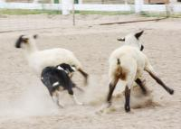 Wool Market Sheep Dog Demo