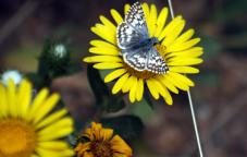 commoncheckeredskipper.jpg