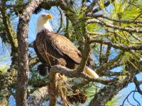 An eagle perches in a tree in the Golden Isles of Georgia