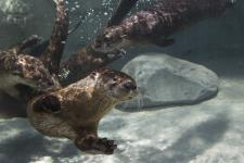 TN Aquarium Otters