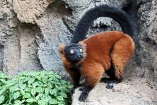 TN Aquarium Lemur