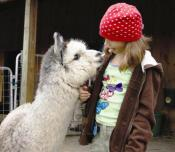 The 21st Annual Farm and Fiber Tour on April 27th and 28th offers visitors the chance to learn more about the farms and farmers, as well as the many uses for fiber produced by alpacas, goats, sheep and rabbits.