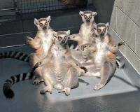 Tennessee Aquarium_Lemurs Sun Worship