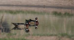 Kansas Kritter- Wood Duck