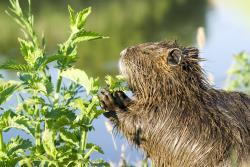 Nutria Rat at Fur & Wildlife Festival