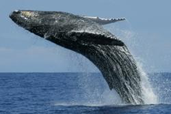 Gray Whales Journey North to Alaska from March to April Jumping