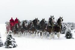 World-Famous Budweiser Clydesdales Return to Fort Collins