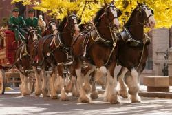 Budweiser Clydesdales Appearance