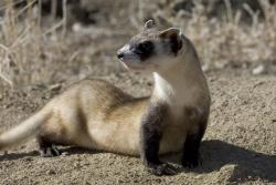 Discovery After Dark: Black-footed Ferret