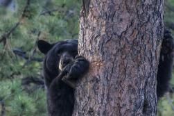 North American Bears: Ecology, Behavior & Evolution - Image