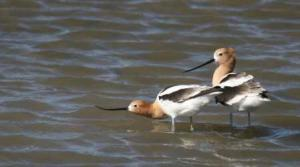 Kansas Kritters-Avocets