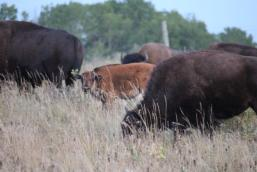 A plains bison calf in the Lake Audy herd.