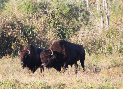 Bison Herd Riding Mountain National Park
