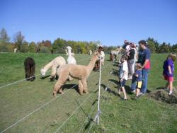 lazy-acres-alpacas.jpg
