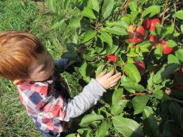Apple Picking in Wayne County