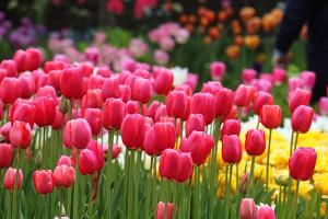 Pink tulips at the Tulip Festival