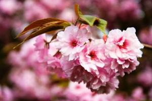 Top 5 Places to See Japanese Cherry Blossoms Seward Park and Lake Washington Boulevard