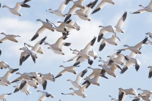 Bombay Hook Bird Flock