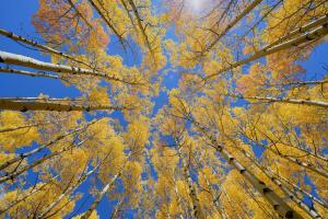 Golden Fall Trees