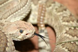 rattlesnake-sm