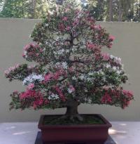 Pacific Bonsai Museum - Bonsai blossom