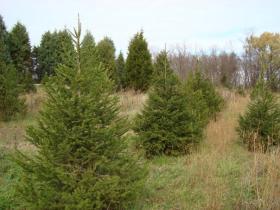 Ticonderoga Xmas Trees