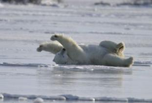 Polar Bear Winter