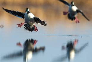 Delta Waterfowl - credit Fred Greenslade