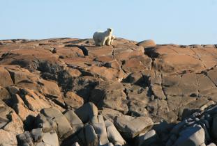 Churchill's Polar Bears