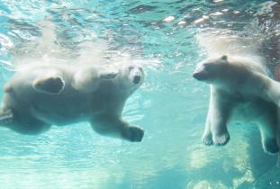 Polar bears playing in the pool