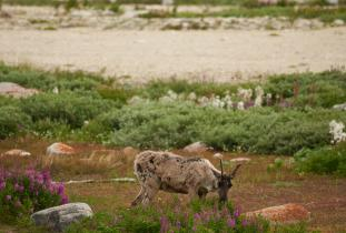 Caribou and Fireweed