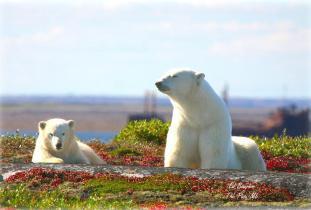 Polar Bear - mum and cub