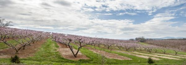Chiles Peach Orchard in bloom