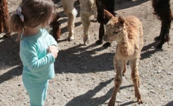 Montrose Alpaca Farm Baby Alpaca with Child