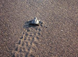 Sea Turtle on sandy Carolina Beach